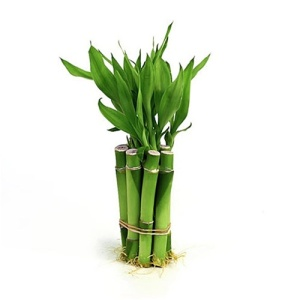 bamboo plant